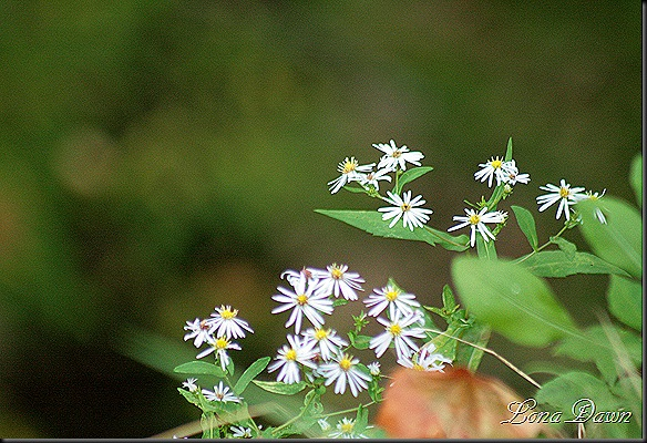Asters_Native_Fall2