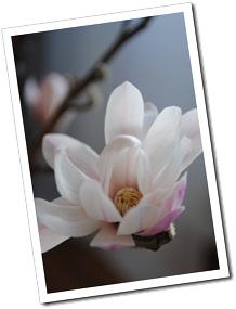 magnolia dec.2011 012