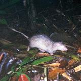 写真4: ネズミヤマアラシ (撮影:鮫島 弘光)