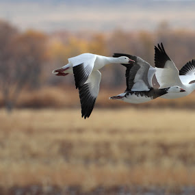 Trio of Geese by Ruth Jolly - Animals Birds ( bosque del apache, bird, nature, snow geese, wildlife, birds, animal, birding,  )