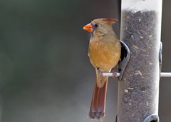 Female Cardinal Kleb Woods2