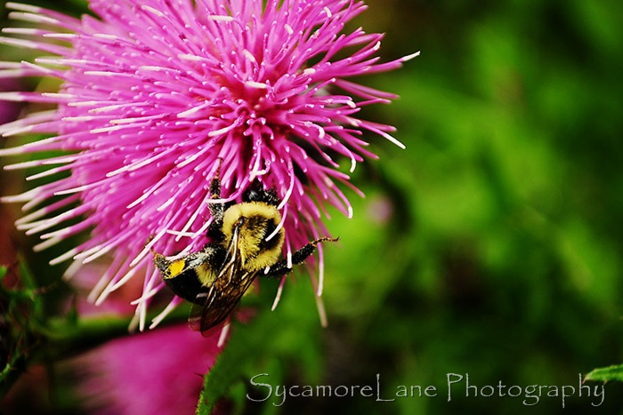 bee and thistle-w