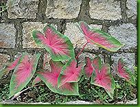 Caladiuns e flores 26 nov 2011 007