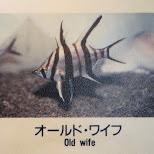 old wife fish at the Shinagawa Aquarium in Shinagawa, Tokyo, Japan