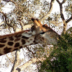 Giraffe auf Chief's Island © Foto: Ulrike Pârvu   Outback Africa Erlebnisreisen