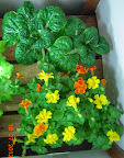 6 week toy choi (harvested), 12 week mimulus