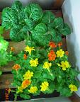 6 week toy choi (harvested), 12 week mimulus