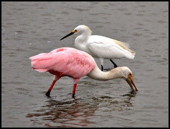 02j1 - birds - Roseate Spoonbill and Snowy Egret