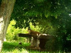 2013.08.04-015 lionne d'Asie