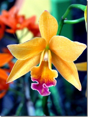 orchid-yellow-new-york-botanic-gardens-show