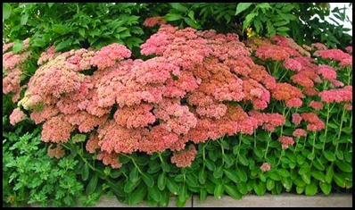 sedum - autumn joy4_thumb[2]