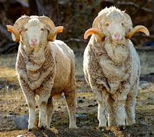 Amazing Pictures of Animals, Photo, Nature, Incredibel, Funny, Zoo, Mammals, Merino, Sheep, Alex (5)