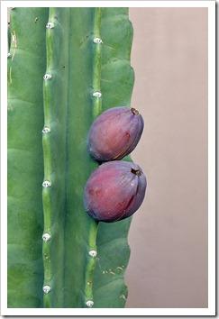 111022_cereus_hildmannianus_fruit