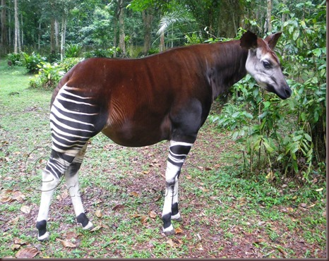 Amazing Animal Pictures Okapi (14)