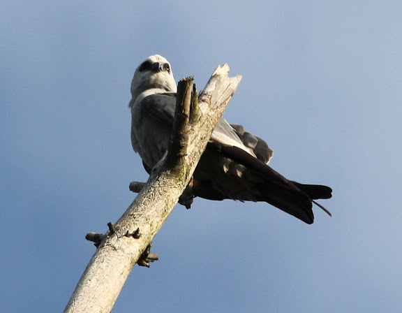 Mississippi Kite, Sterling Forest Visitor Center, June 3, 2012