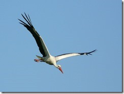 798px-White_Stork_Glider