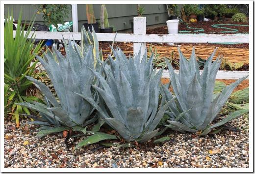 121202_Davis_succulent_garden17