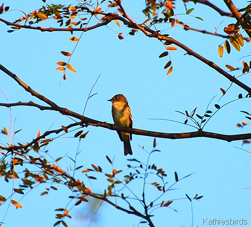5. Eastern woodpewee-kab