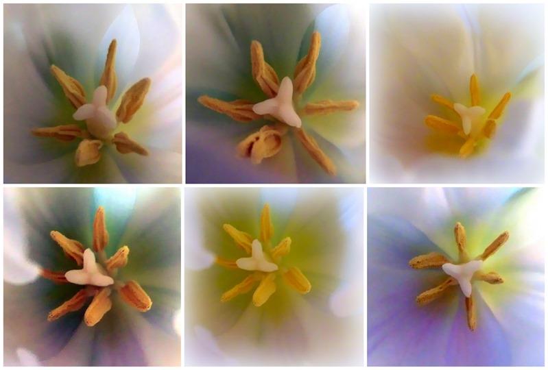 2013-01-01 White Tulips