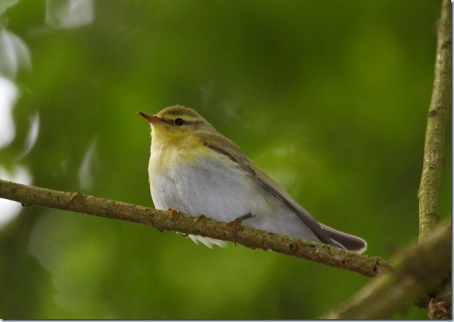 wood_warbler_edit