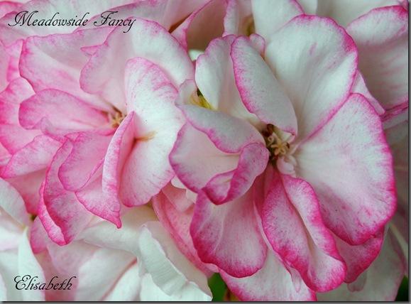 Pelargonium juni-11 042