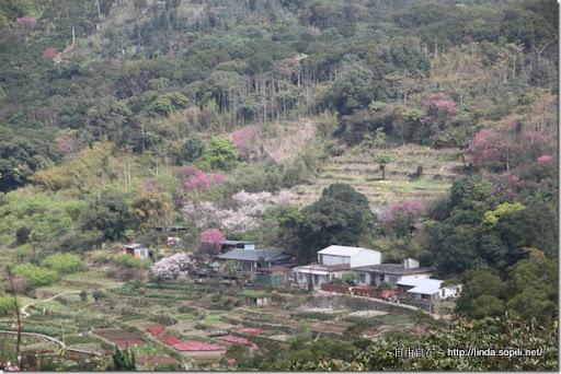 2010陽明山花季-山坡