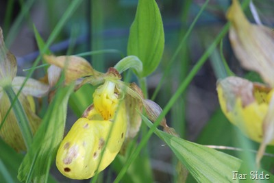Lady Slippers there were 12 in my clump