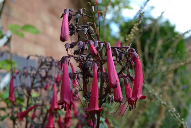 Cape fuchsias - African Soldiers