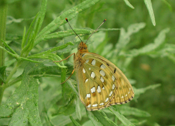 Argynnis (Fabriciana) aglaja L., 1758, femelle. Tigrovoy, 23 juin 2011. Photo : J. Michel