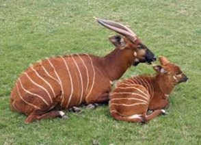 Amazing Pictures of Animals, photo, Nature, exotic, funny, incredibel, Zoo, Western or Lowland bongo, Tragelaphus eurycerus eurycerus, Mammals, Alex (6)