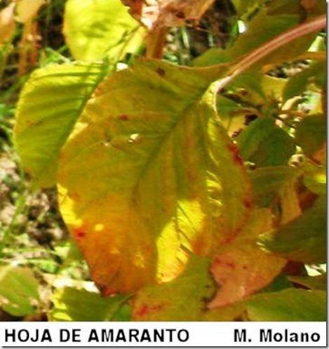 Hoja de Amaranto - M.Molano_RM
