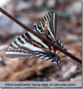 zebrast