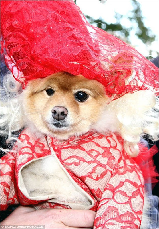 This pooch went as Lady Gaga from the 2009 VMAs and won a prize for best-dressed