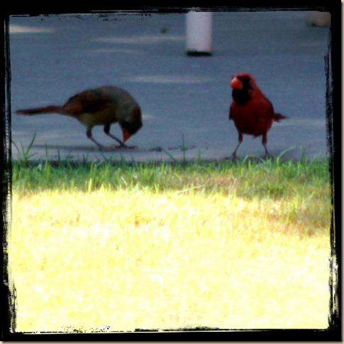 Deck Cardinals