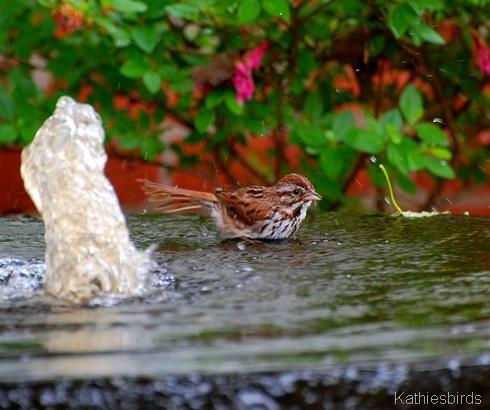 DSC_0010 sparrowbath-kab