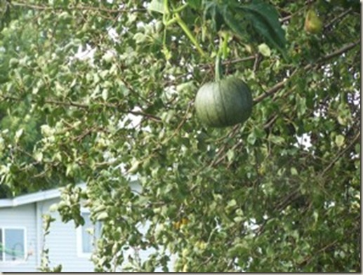 Pumpkin In A PearTree