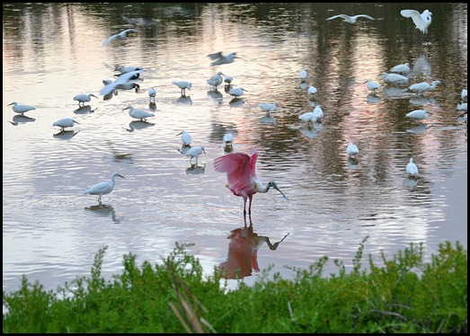 06 - Even the Roseate Spoonbill joined the party