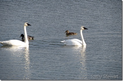 Swans and Mallard