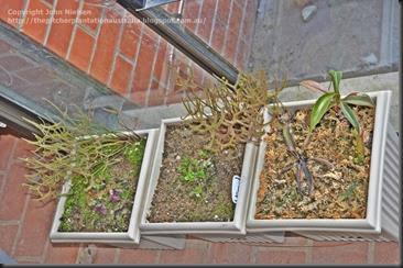 Drosera binata Cephalotus Nepenthes
