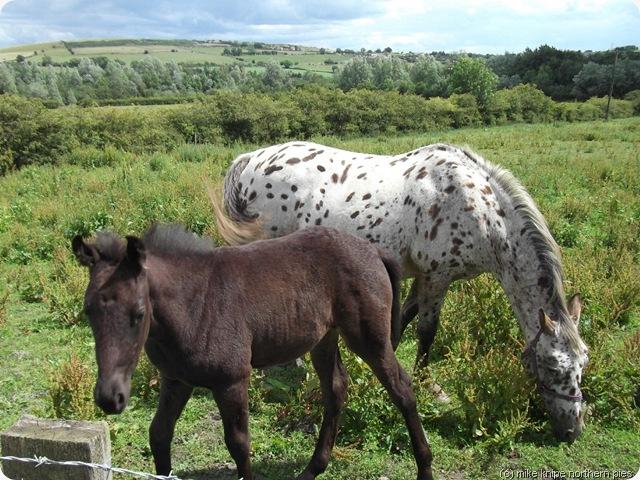 ponies near roddymoor