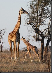 October 20, 2012 giraffe mom and baby