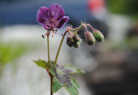 Geranium Mourning Widow