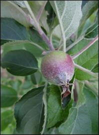 apples0512 (2)