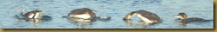 Common Loon Dive Sequence