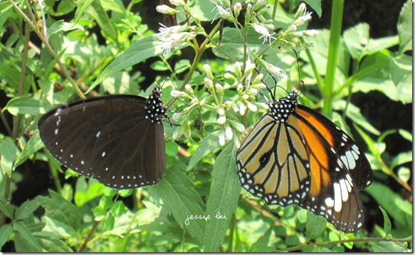 黑脈樺斑蝶&小紫斑蝶