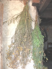Plimoth Plant herbs drying inside home on side of fireplace