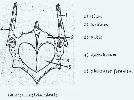 lizard-pelvic-girdle