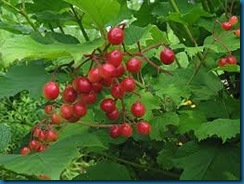 highbush cranberry viburnum