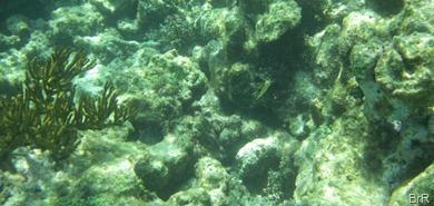 Tobago_Cays_Korallen