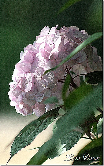 Hydrangea_Morning